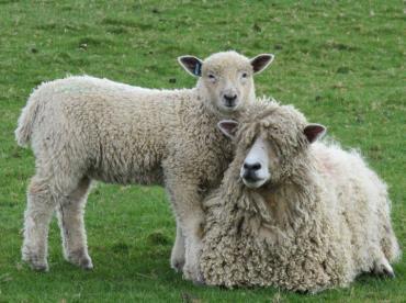 گوسفند لستر پشم  بلند