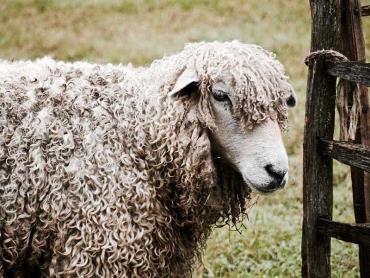 مصارف گوسفند لستر موبلند