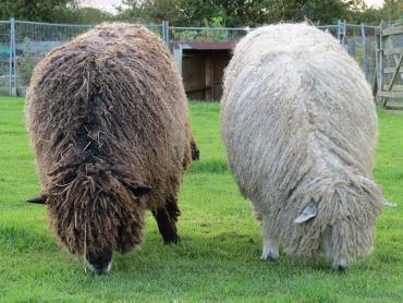 خصوصیات گوسفند لستر