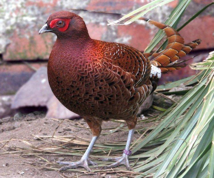 قرقاول نژاد مسی (copper pheasant)