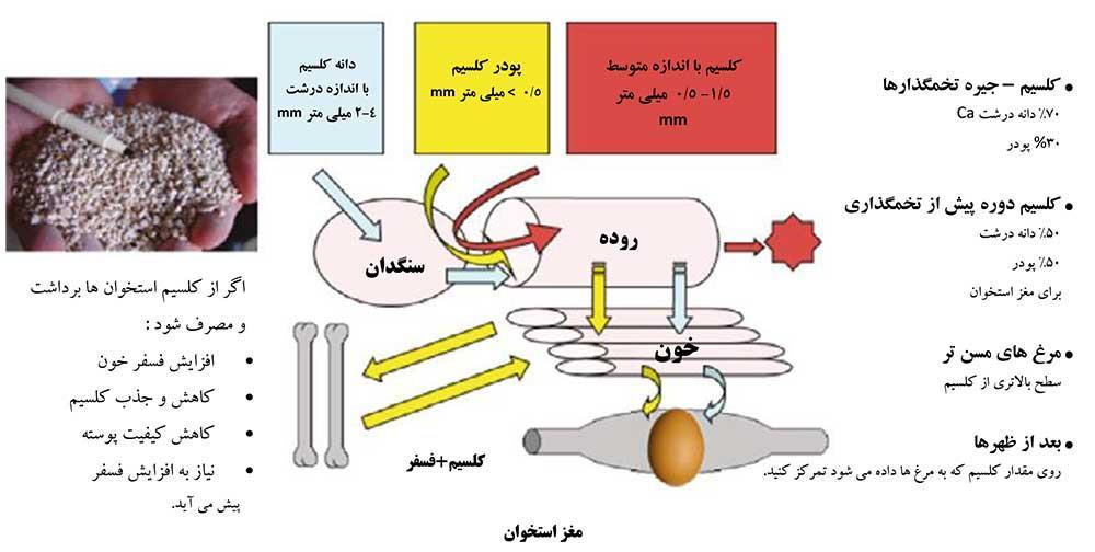 عوامل ضعف پاها در مرغهای تخمگذار