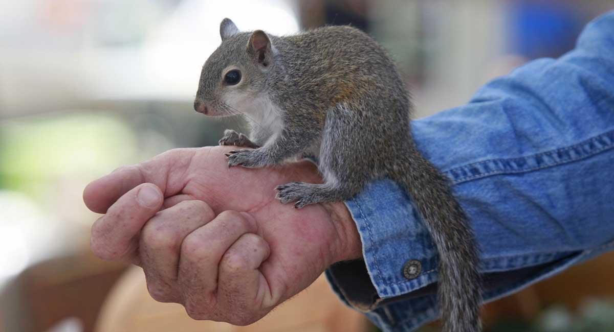نگهداری سنجاب بعنوان حیوان خانگی