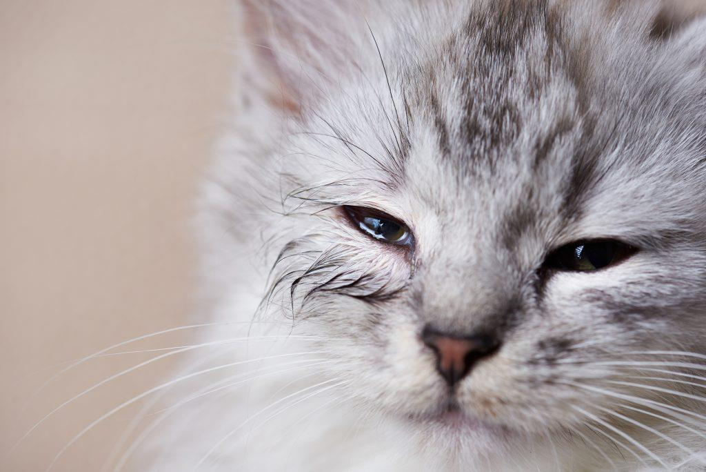 آلرژیهای غذایی در گربه