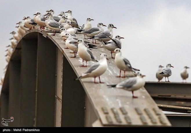 پرندگان مهاجر در کارون
