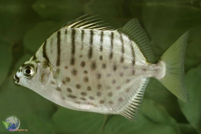 ماهی سیلور اسکات (Silver Scat)