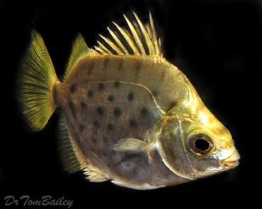 ماهی آب نیمهشور