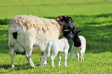 زاد و ولد گوسفند دورپر