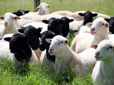 پرورش گوسفند دورپر