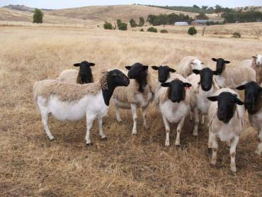 نگهداری از گوسفند نژاد دورپر
