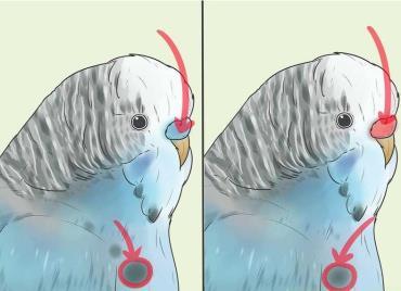 تشخیص مرغعشق نر با کمک اسفنجی