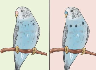 هنگام تشخیص جنسیت، سن مرغ عشق را درنظر بگیرید