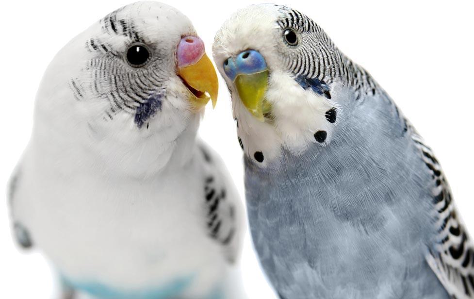 راهنمای تصویری تشخیص جنسیت مرغ عشق