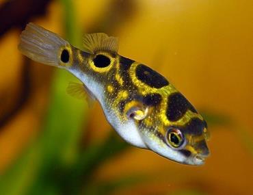 نگهداری ماهی پوفر فیگور ۸