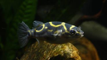 ماهی پوفر فیگور ۸