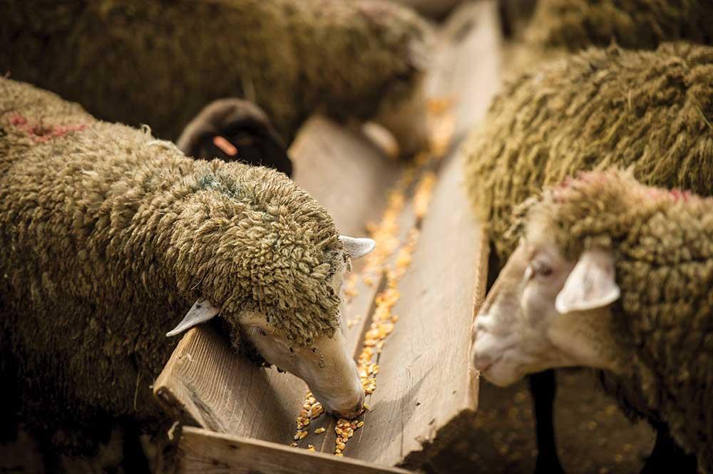 اسیدوز در گوسفندان