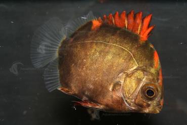غذای ماهی اسکات قرمز
