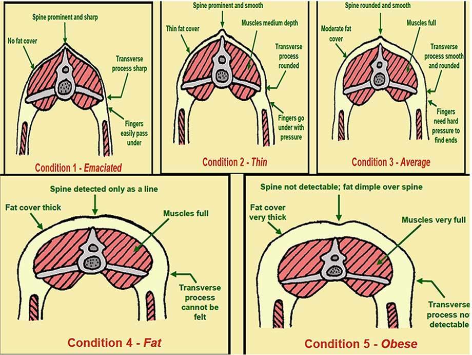 تشخیص نمره بدنی در میشها