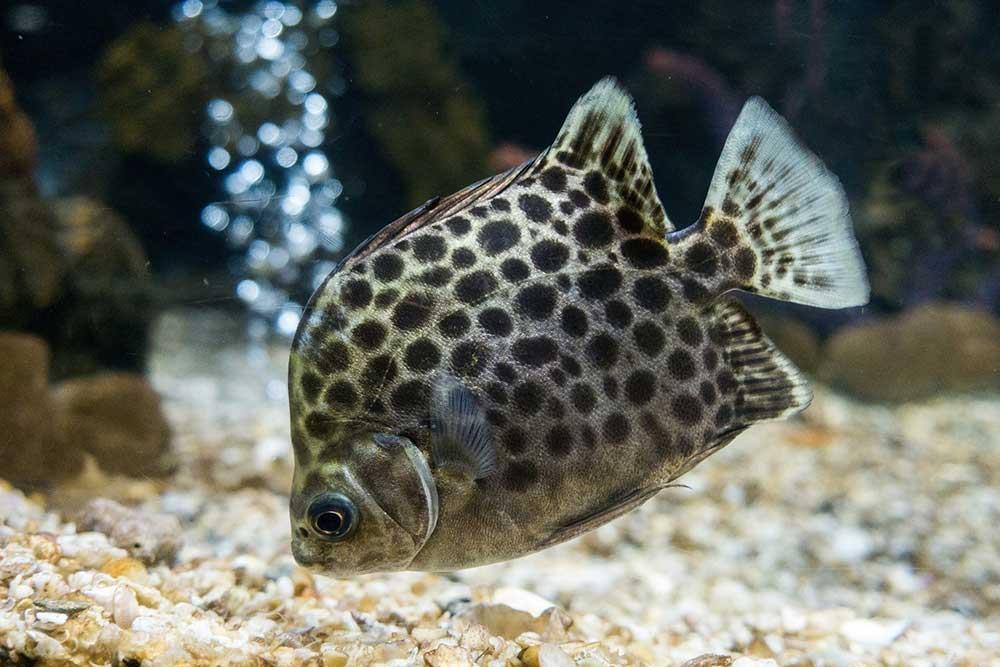 ماهی اسکات سبز