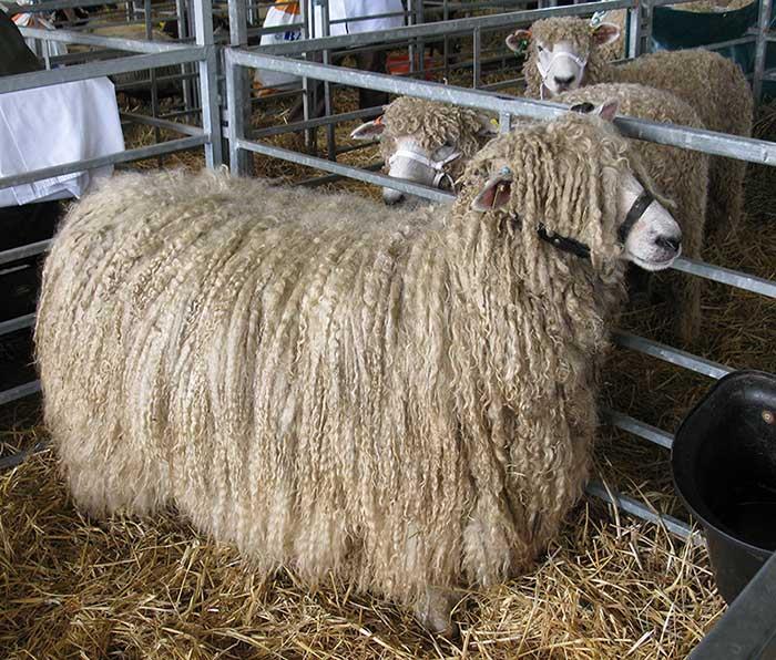 خصوصیات ظاهری گوسفند نژاد لینکلن