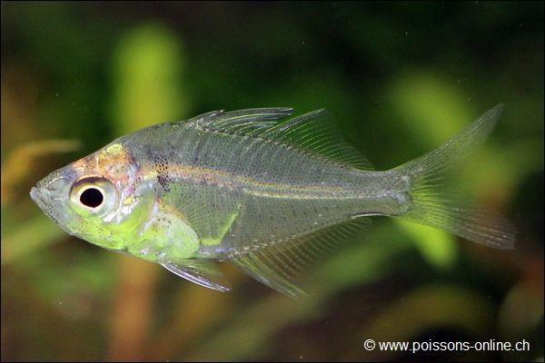 ماهی شیشهای (Glassfish)