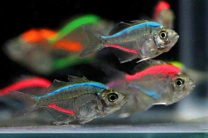 ماهی شیشهای رنگ شده
