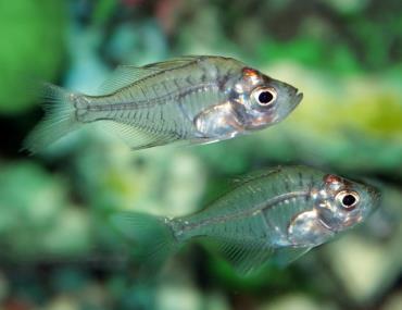 تکثیر ماهی شیشهای