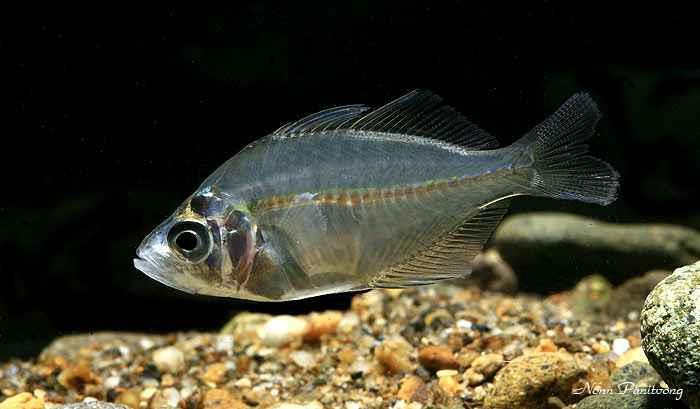 گلاس ماهی