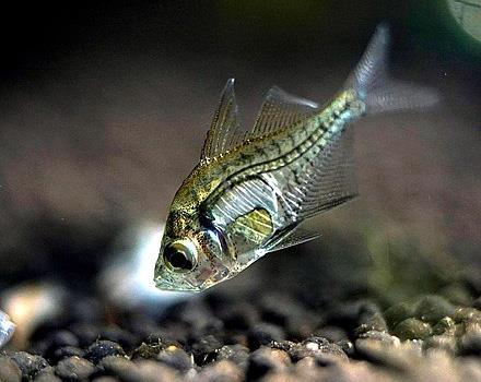 گلاس ماهی Chanda ranga یا گلاس perch هندی