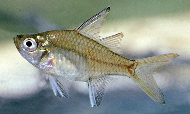 ماهی شیشه ای glass perchlet