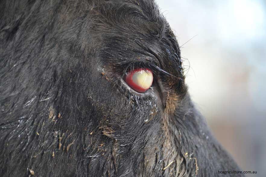 بیماری کراتوکونژیکتیویت عفونی یا چشم صورتی در گاو