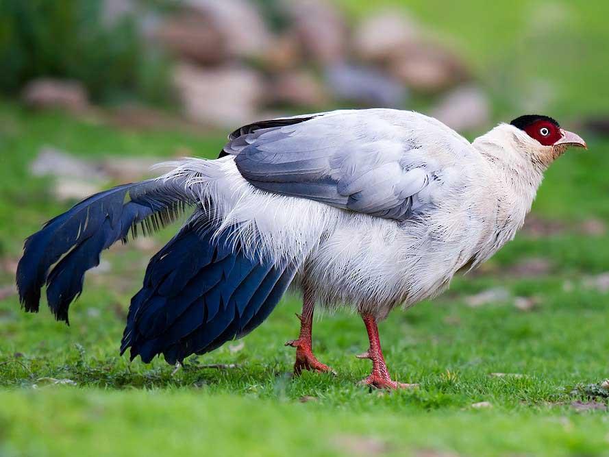 قرقاول نژاد گوش دار سفید (white eared pheasant)
