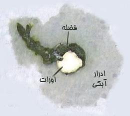 اجزای فضله سالم پرنده
