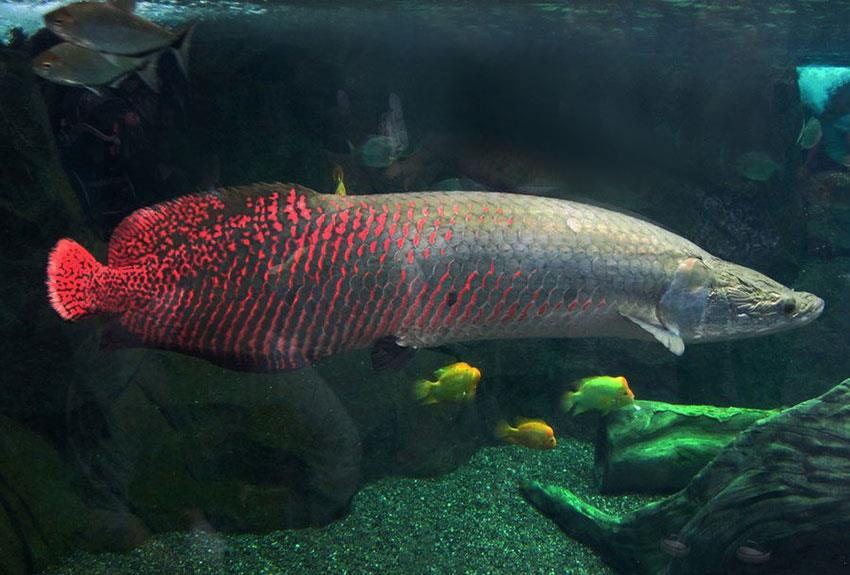 ماهی آراپایما گیگاس (Arapaima gigas)
