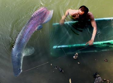 ماهی غولپیکر آراپایما گیگاس