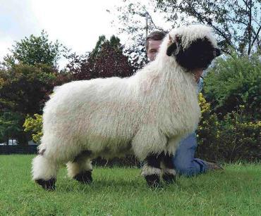 ابعاد گوسفند والیس