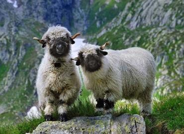 شکل ظاهری گوسفندان نژاد والیس