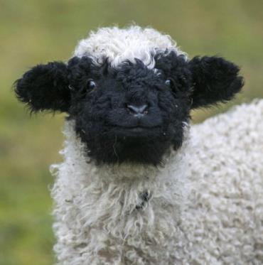گوسفند نژاد دماغ سیاه والیس
