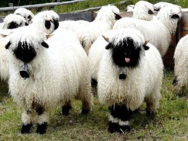 پشم گوسفند والی