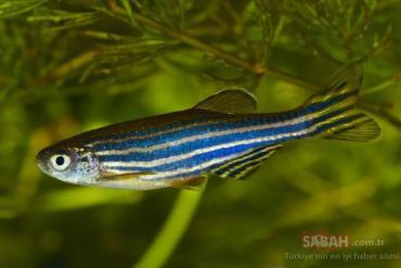 خصوصیات ماهی زبرا دانیو آبی