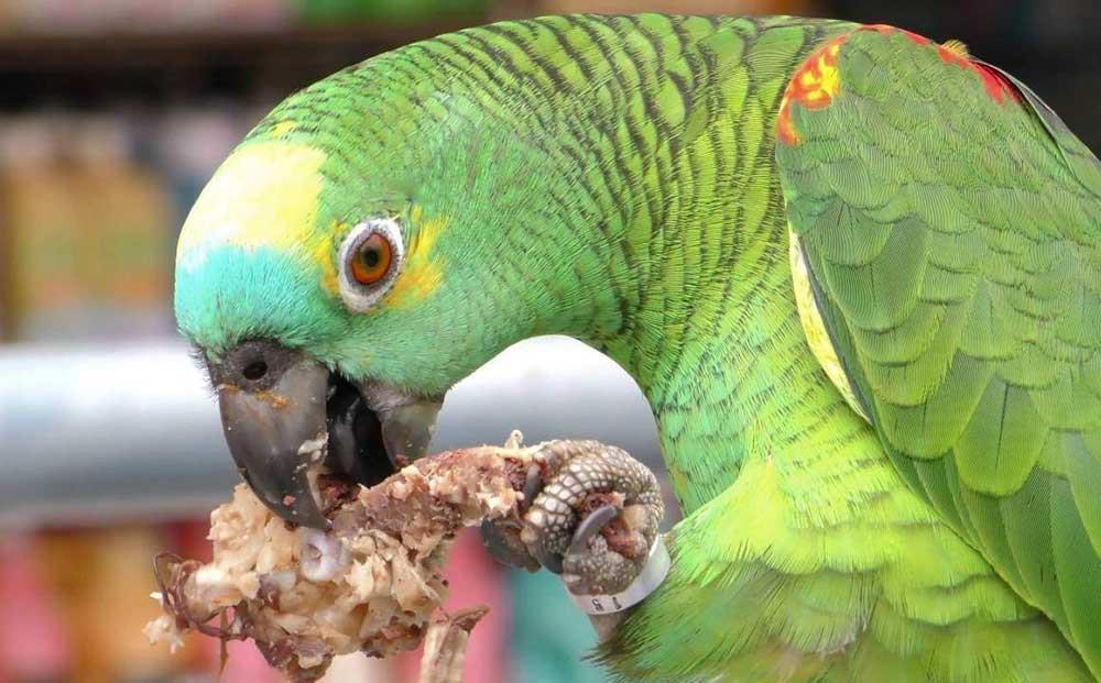 آیا میتوان گوشت را در رژیم غذایی طوطیها گنجاند؟