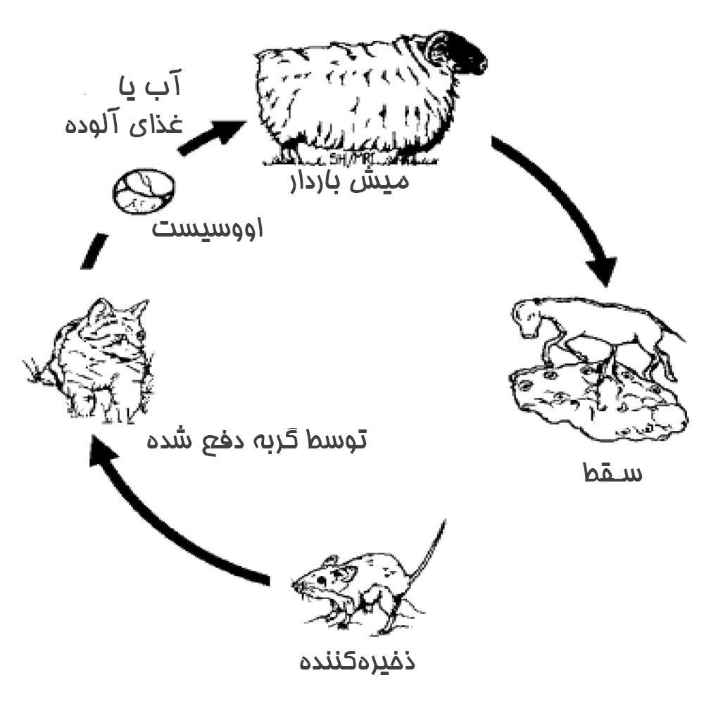 توکسوپلاسموز در گوسفند