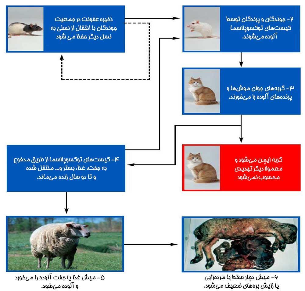 انتقال توکسوپلاسما از گربه به گوسفند