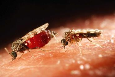 حشرات انتقالدهنده ویروس اشمالنبرگ