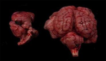مغز طبیعی و تحت تأثیر SBV از بره نوزاد