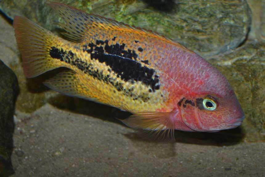ماهی سیکلید ویجا دوخط (Bifasciatum Vieja)