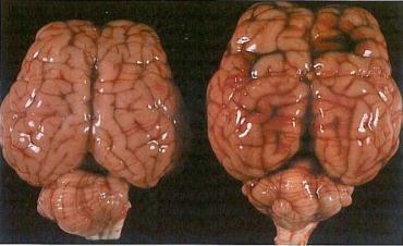 Septicaemic Colibacillosis