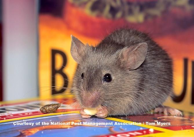 بیماریهای ویروسی نوظهور خرگوشها و جوندگان