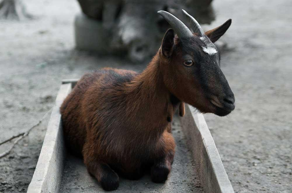 بز نژاد کامرون (Cameroon goat)