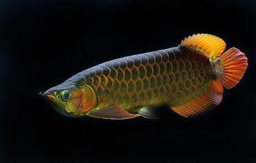 مشخصات ماهی آروانای سالم