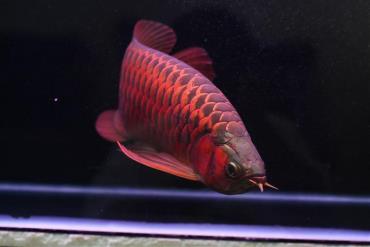 سلامت ماهی آروانا